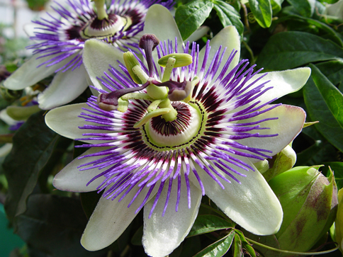 passionflower.PNG